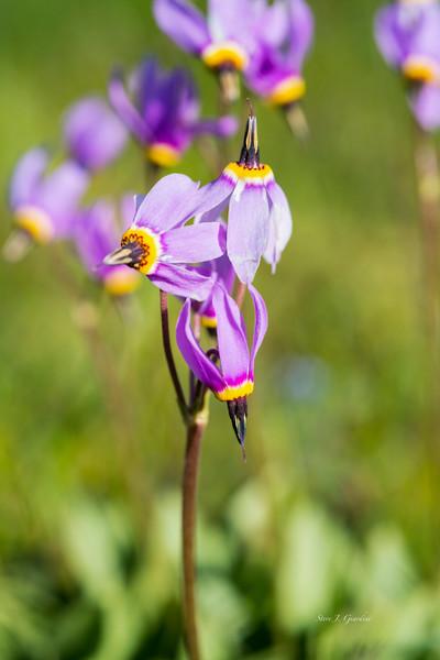 Wildflower Purple Cones (171656LNND8) Photograph for Sale as Fine Art Print