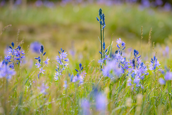 Wildflower Field (171655LNND8) Photography for Sale as Fine Art Print