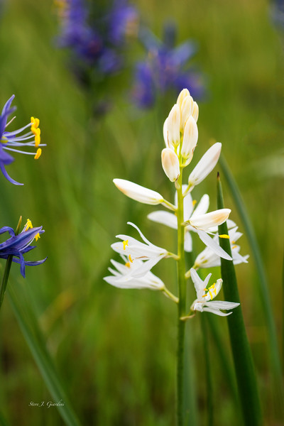 White Camas Wildflower (171646NWND8-P) Photograph for Sale as Fine Art Print