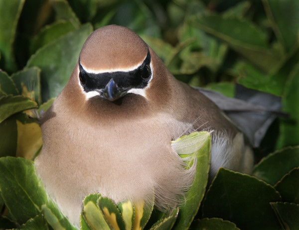 Masked Waxwing, d'Ellis Photographic Art photographs, Bill