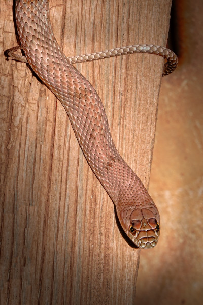 Ground Snake Or Rope, d'Ellis Photographic Art photographs, Bill