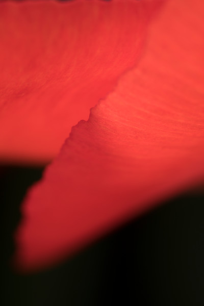 Beautiful abstractions, tulip flower #2 — fine art photograph