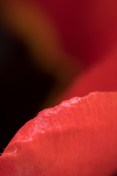 Beautiful abstractions, tulip flower #4 — fine art photograph