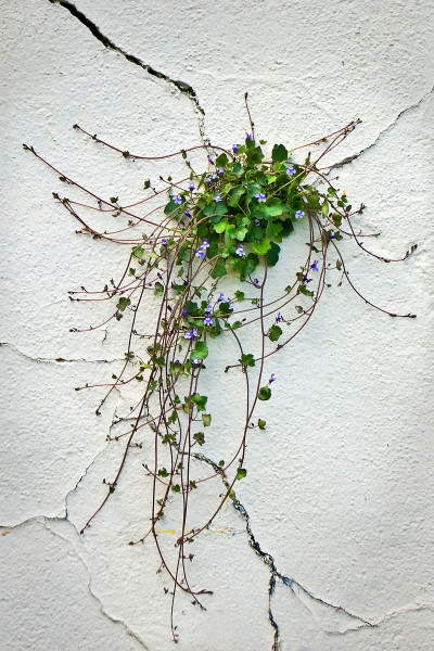 Wild Violets in Stucco, d'Ellis Photographic Art photographs, Bill