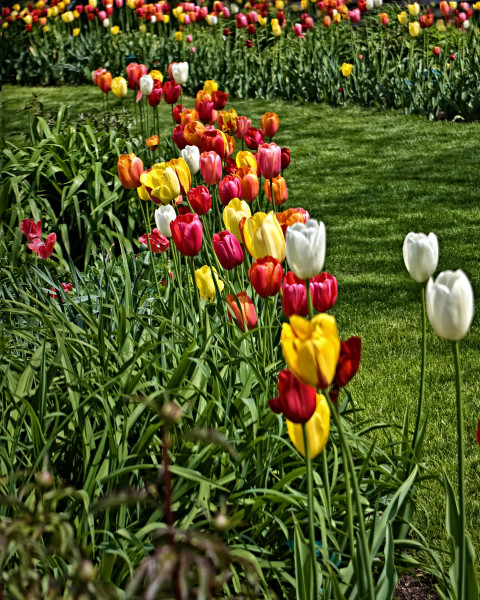 Tulip Patches in Perkins Cove, d'Ellis Photographic Art photographs, Bill