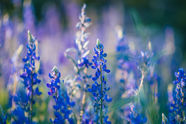 A beautiful floral fine art print of bluebonnets.