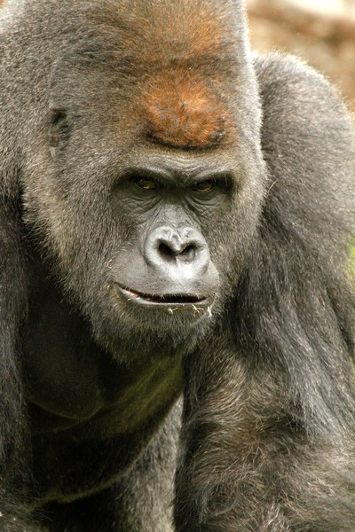 Purchase this Great Ape photograph by Marilyn Lyons