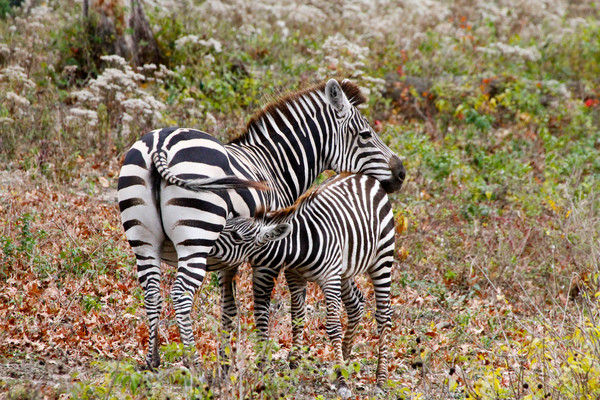 Nursing baby Zebra at the Kansas City Zoo photograph