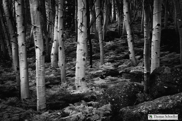 B&W Fine Art Photography print of an Aspen Grove high in the scenic Colorado Rockies