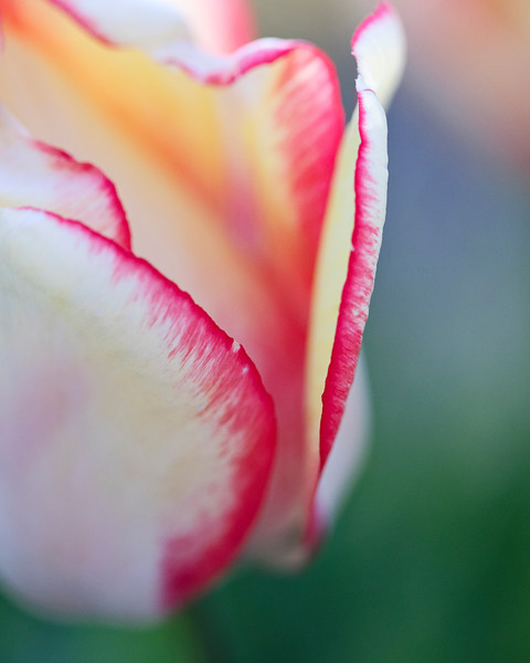 """Macro Tulip I"" Vertical Fine Art Rhode Island Large Floral Photograph"