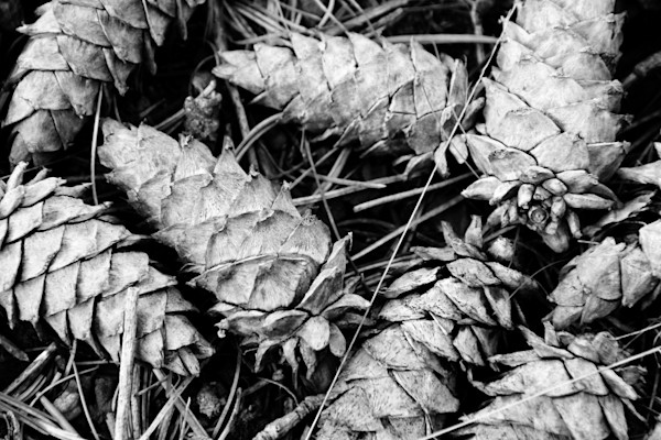 Photograph of pine cones on the forest floor