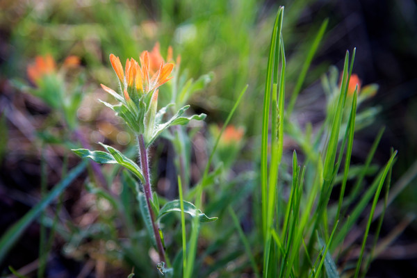 Photograph of Indian Paintbrush in the Malheur National Forest in Eastern Oregon
