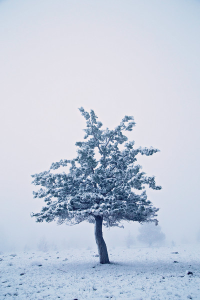 Lone snowy juniper tree on a foggy day in Malheur National Forest near John Day, Oregon