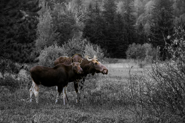 Moose by Matt Jenkins | SavvyArt Market photography
