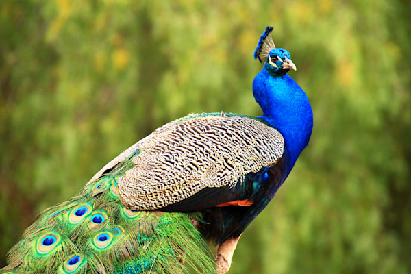 Birds, colorful, Peacocks, Peafowl,