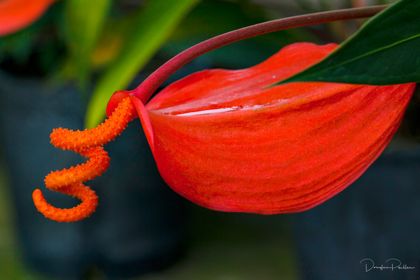 Photograph, Pigtail Anthurium, Kula BotanicalGarden, Upcountry, Maui, Hawaii