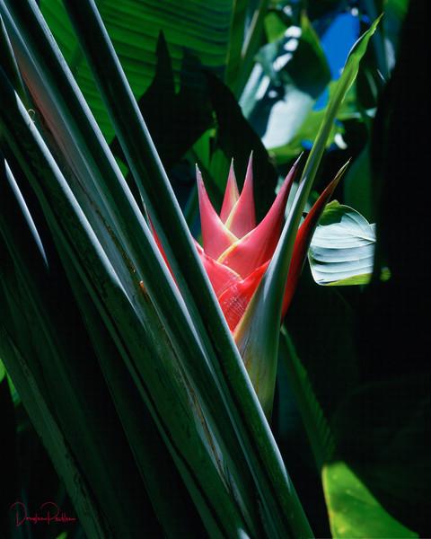 Heliconia, Heliconia Purpurea