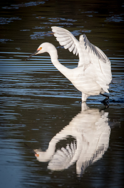 Snowy Egret with Wings reflected