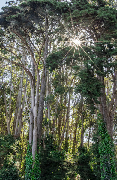 Sunburst through Eucalyptus Trees Photo