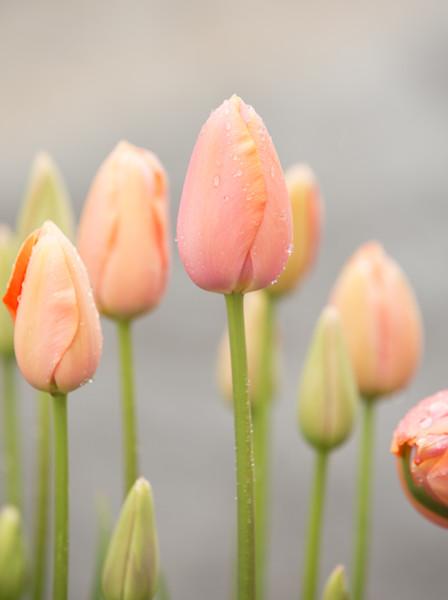 peach tulip buds
