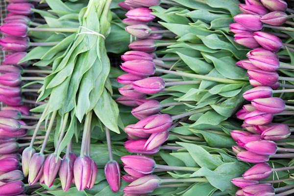 tulip Harvest-1