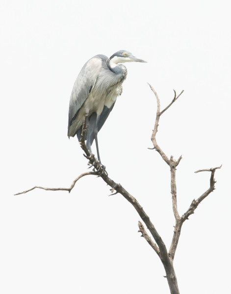 heron on branch-Africa