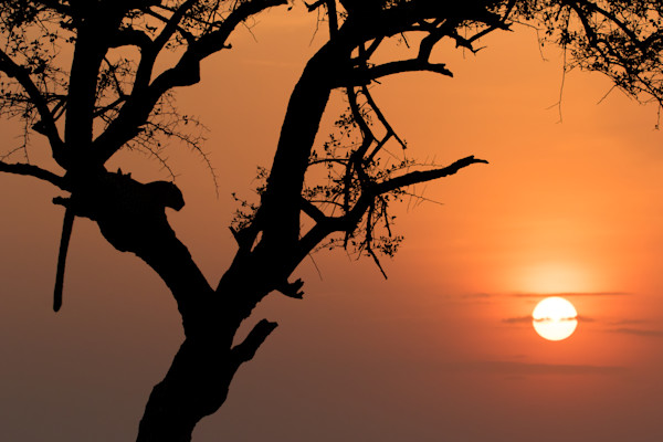 leopard sunset with sun