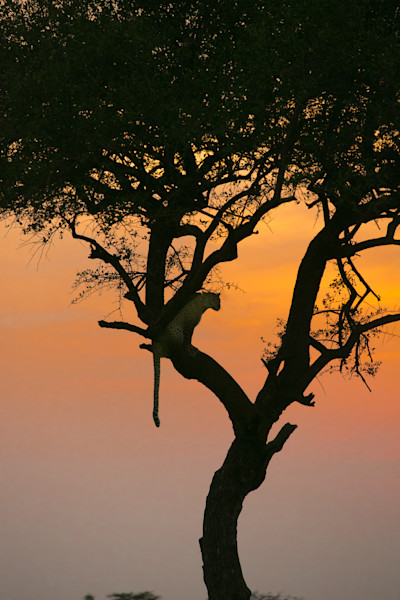 leopard sunset-1