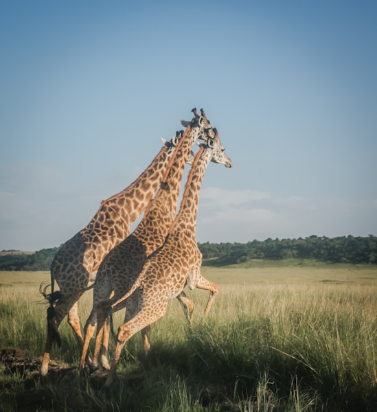 3 Running Giraffes Photo- Wildlife fine art photography in Canvas, Metal and Archival Print