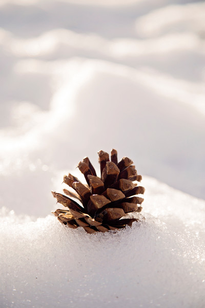 Photograph of Pinecone in the Snow