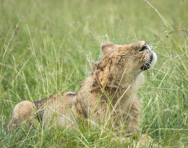 lioness shakes off rain