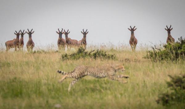 topi watching cheetah hunt
