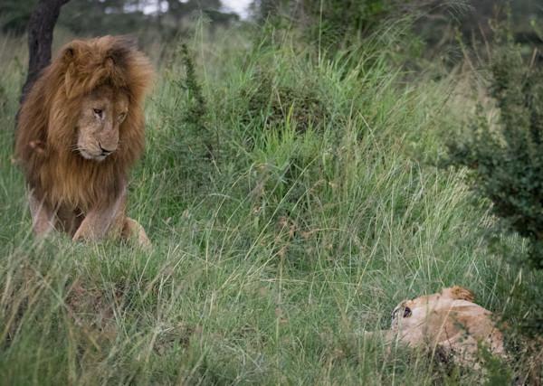 Please...  Lion Couple