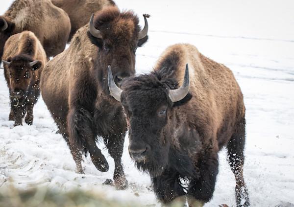 running bison in snow