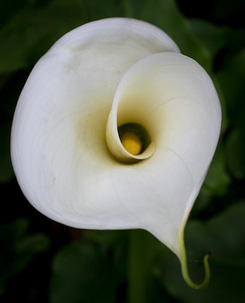 curling calla lily