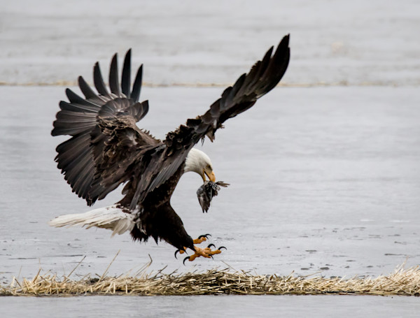 Magnificent bald eagle landing with prey photo