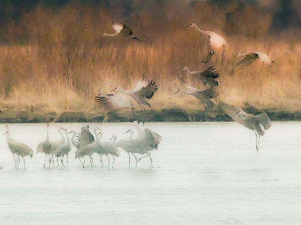 sand hill cranes-stylized print