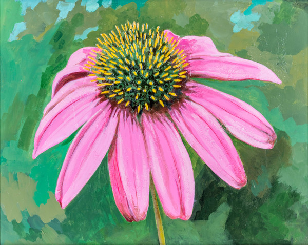 Buy a print of a bristly pink coneflower with a colorful background.