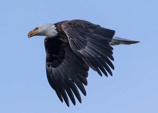 Bald Eagle flight-Wings Down Photo
