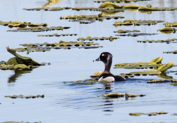 ring-necked duck and lily pads photo