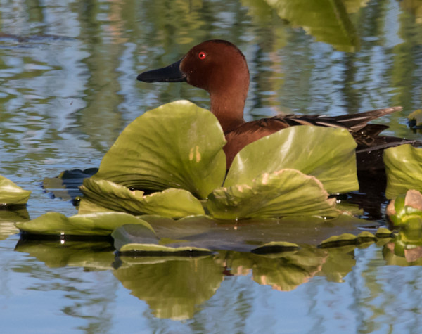 Cinnamon Teal Duck in Lily Pad Photo