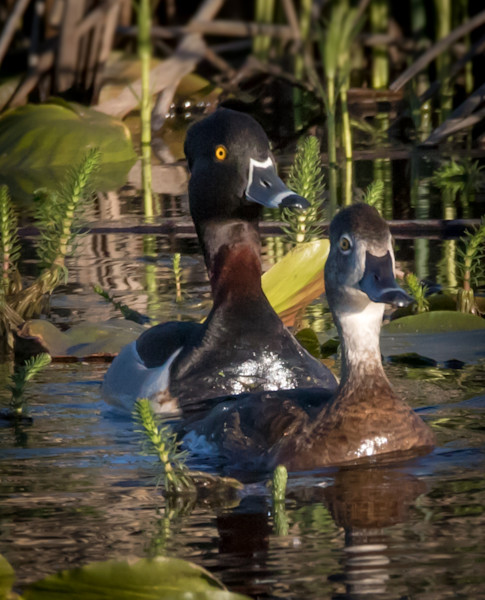Ring-necked duck couple photo