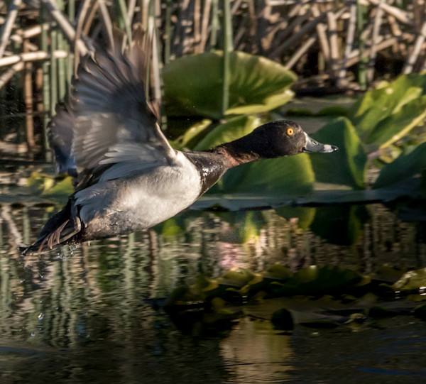 Ring-necked Duck Take Off Photo