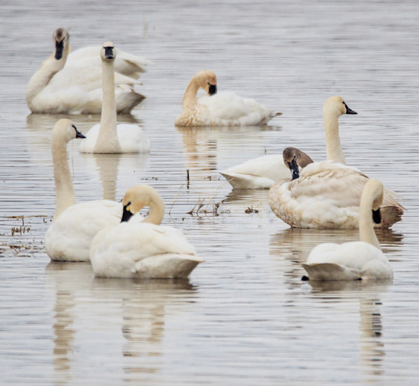 tundra swans hanging out
