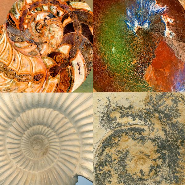 Four Macro Fossil Ammonites