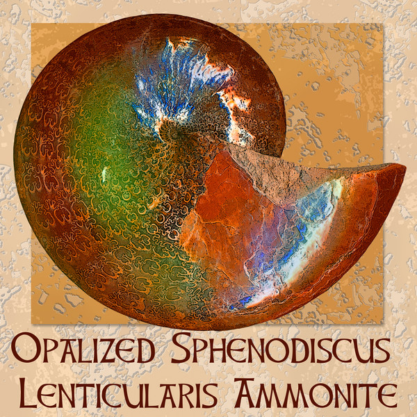 Opalized Sphenodiscus Lenticularis