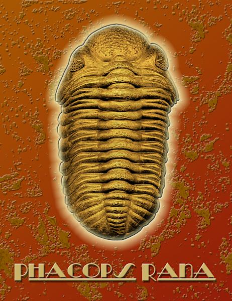 Phacops Rana Crassituberculata trilobite