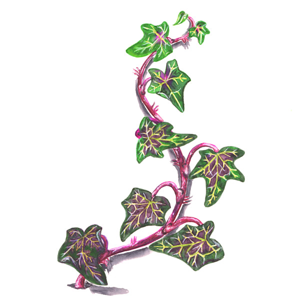 Watercolor painting of a English ivy vine