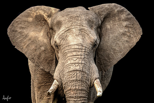 African elephat with ears out facing camera, black background