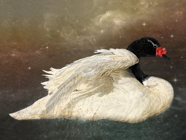 """Evening Swan"", Fine Art Photograph by Rebecca Benezue"